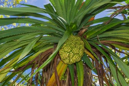 pandanus tree: wild pineapple, Pandanus