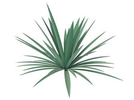 agave: agave sobre un fondo blanco