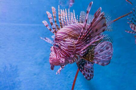 volitans: Fish in the sea Stock Photo