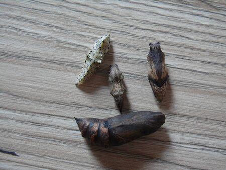 Deilephila elpenor (코끼리 호크 - 방), Pieris brassicae (큰 흰색, 양배추 나비, 양배추 흰색, 양배추 나방 (틀린)라고도 함), Polygonia c-aureum (아시아 쉼표 ), Papilio