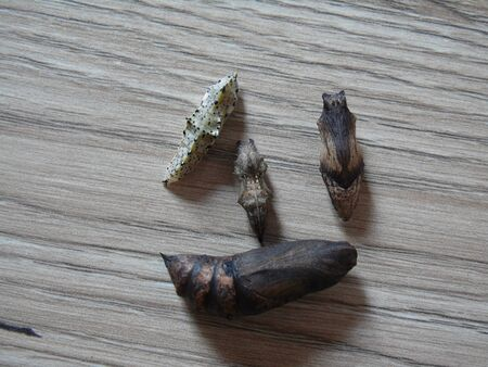 Set of pupae of butterflies lying on a wooden surface: Deilephila elpenor (elephant hawk-moth), Pieris brassicae (the large white, also called cabbage butterfly, cabbage white, cabbage moth (erroneously)), Polygonia c-aureum (the Asian comma), Papilio mac