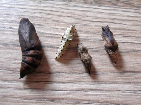 deilephila: Set of pupae of butterflies lying on a wooden surface: Deilephila elpenor (elephant hawk-moth), Pieris brassicae (the large white, also called cabbage butterfly, cabbage white, cabbage moth (erroneously)), Polygonia c-aureum (the Asian comma), Papilio mac