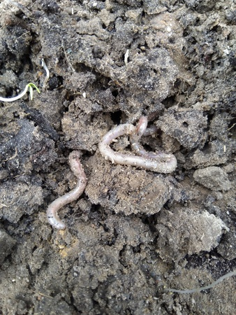 Earthworm close-ups wriggle in the earth after rain