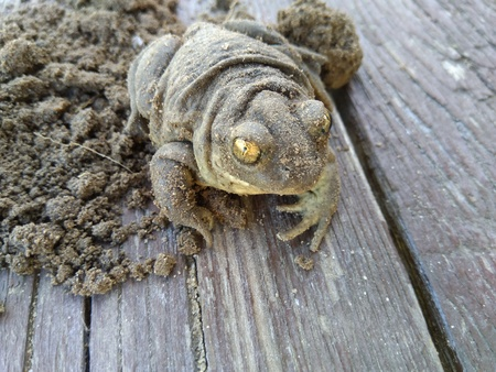 earth toad with frighteningly terrible yellow eyes sitting on a wooden surface