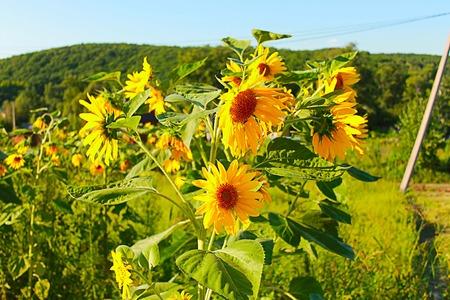 Photo which shows yellow yellow sunflowers. Stock Photo
