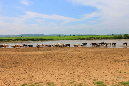 The photo depicts a herd of cows grazing.  Stock Photo