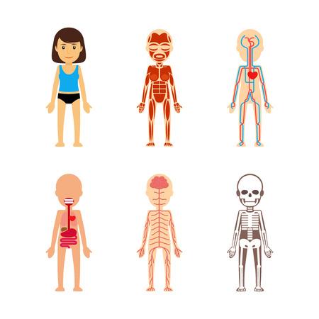 Anatomie féminine du corps. système circulatoire et le squelette, le système digestif et le système nerveux.