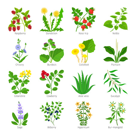 nettle: Aromatherapy medical herbs and flowers hand drawn vector on white Illustration