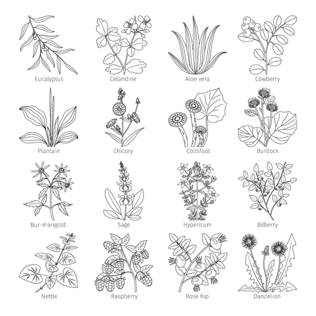 cowberry: Medicine plants and herbs on white collection vector illustration Illustration