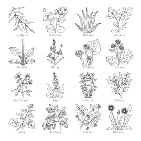 plantas medicinales y hierbas sobre ilustración vectorial blanco colección