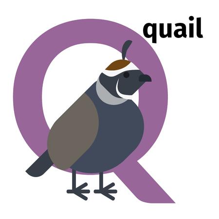 Alfabeto zoo degli animali inglese con lettera Q. Illustrazione vettoriale di quaglie