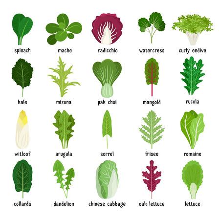 ensalada de hojas verdes. Vector vegetariano hoja de conjunto de alimentos saludables aisladas sobre fondo blanco