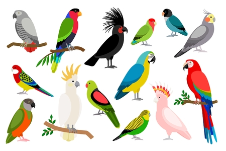 Tropical parrot set with colored feathers and wings. Vector cartoon parrots isolated on white background