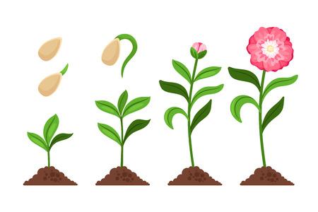 Roze bloem groei en bloeien proces pictogrammen. Vector illustratie