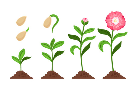 Pink flower growth and flourish process icons. Vector illustration