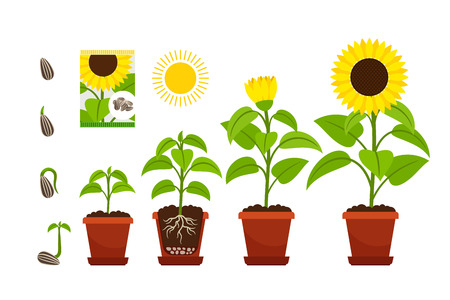 Sunflower cartoon vector illustration. Sunflowers seedling with yellow flowers in pot isolated on white