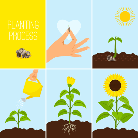 Flower planting process vector illustration. Planting a seed watering. Growing and blooming sunflower