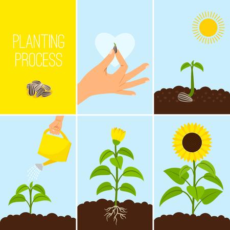 Ilustración de vector de proceso de plantación de flores. Plantar un riego de semillas. Girasol en crecimiento y floración