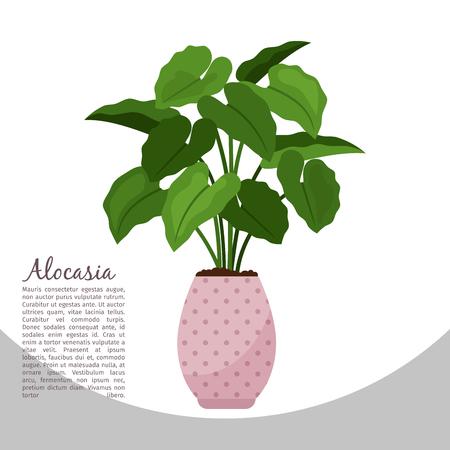 Alocasia indoor plant in pot banner. Illustration