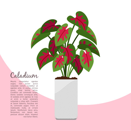 Caladium indoor plant in pot banner