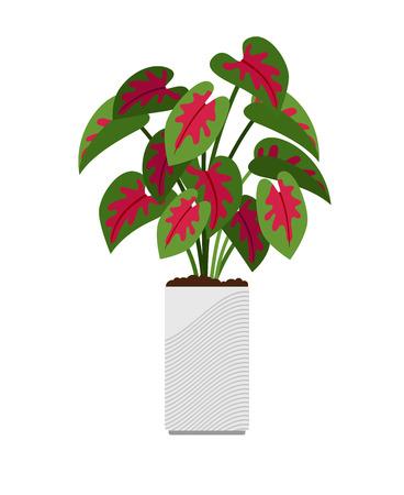 Caladium house plant in flower pot