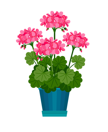 Geranium houseplant in flower pot Illustration