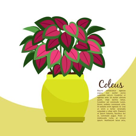 Coleus indoor plant in pot banner template, vector illustration