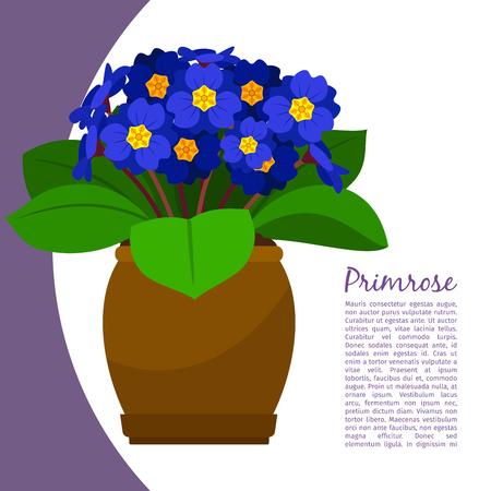 Primrose indoor plant in pot banner template, vector illustration Illustration
