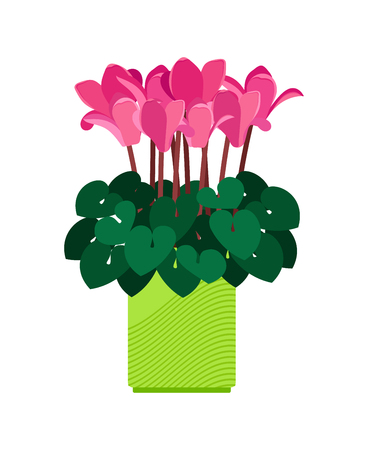 Cyclamen house plant in flower pot vector illustration on white background