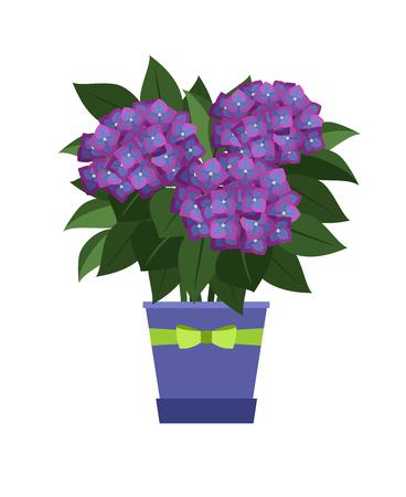 Hydrangea house plant in flower pot vector illustration on white background.