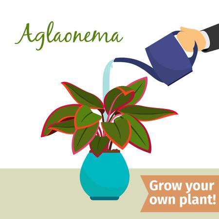 Hand watering aglaonema plant Illustration