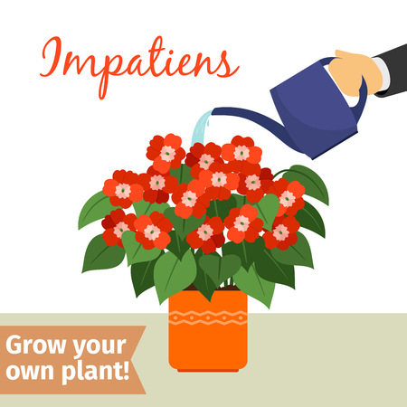 Hand watering impatiens plant