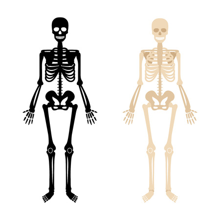 Human skeleton. Back and white bones anatomy skeleton vector illustration, skeletal biology system isolated on white background  イラスト・ベクター素材