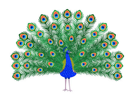 Beautiful peacock. Cartoon bird with ornamental feathers, character of nature with decorative elegant plumage, vector illustration of exotic animal isolated on white background Vetores