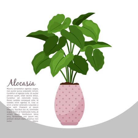 Alocasia indoor plant in pot banner
