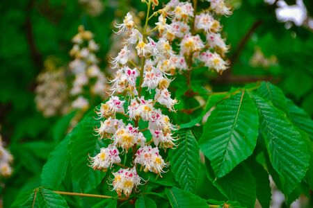 chestnut flowers close up, blooming chestnut, white small flowers on a branch Banco de Imagens
