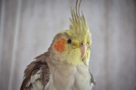 parrot gray cockatiel in cage, parrot behind bars 版權商用圖片