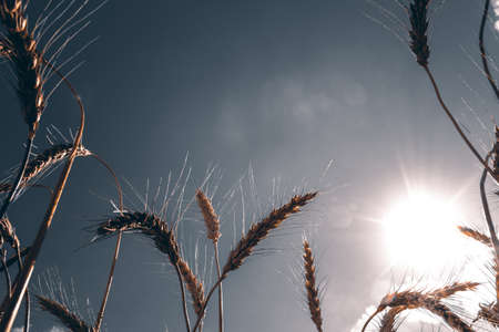 the view of the sky through the ears of wheat Stock fotó