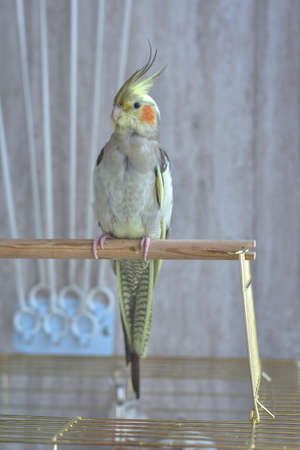 gray parrot cockatiel sits on perch, gray parrot
