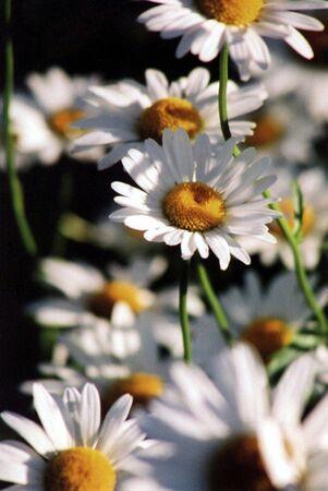 Daisy wildflowers. Stock Photo
