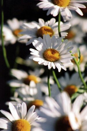 Daisy wildflowers. Stock Photo