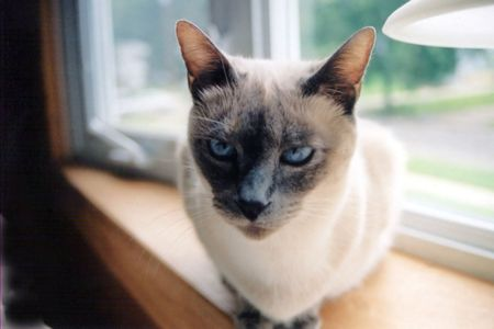 Siamese cat sitting on a windowsill.