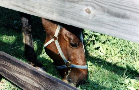 갈색 말 방목, 울타리에 의해 누 명을.