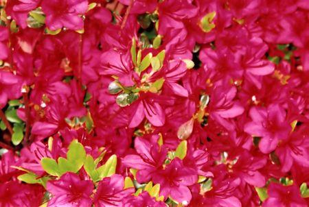 Closeup of fuscia azaleas.