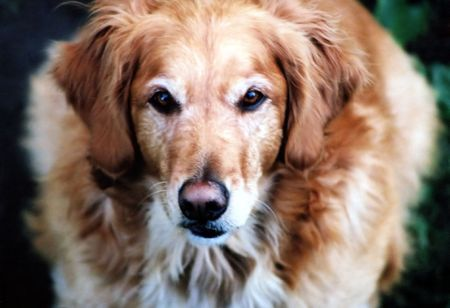sneer: Portrait of Golden Retriever, approximately four years old.