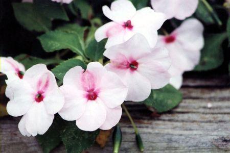 impatiens: Blanco y rosa Impatiens en un jard�n exterior.