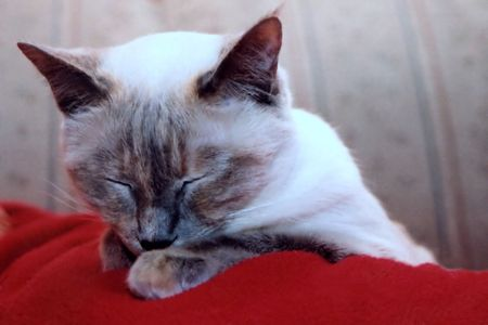 catnap: Siamese cat taking a nap.