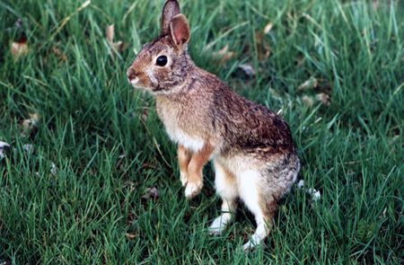 Mother rabbit watching intruders near her nest. Stock Photo
