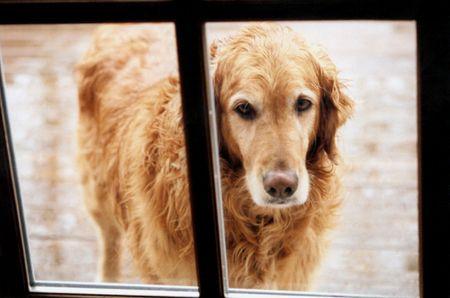 Soaked Golden Retriever standing in rain outside door, begging to be let inside.