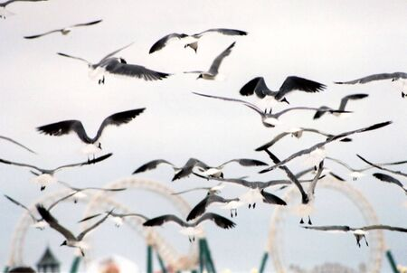 Group of seagulls flying, with amusement rides in the background.
